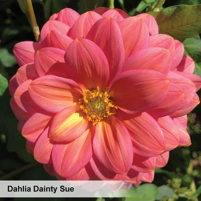 Dahlia Wine & Roses Collection. Special offer - 25% off!