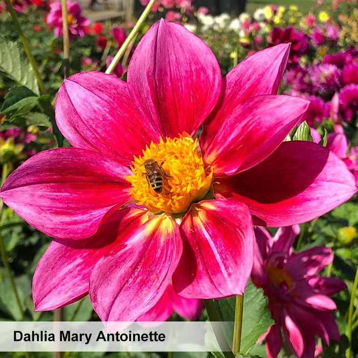 Dahlia Strawberry & Cream. Special offer - 15% off!