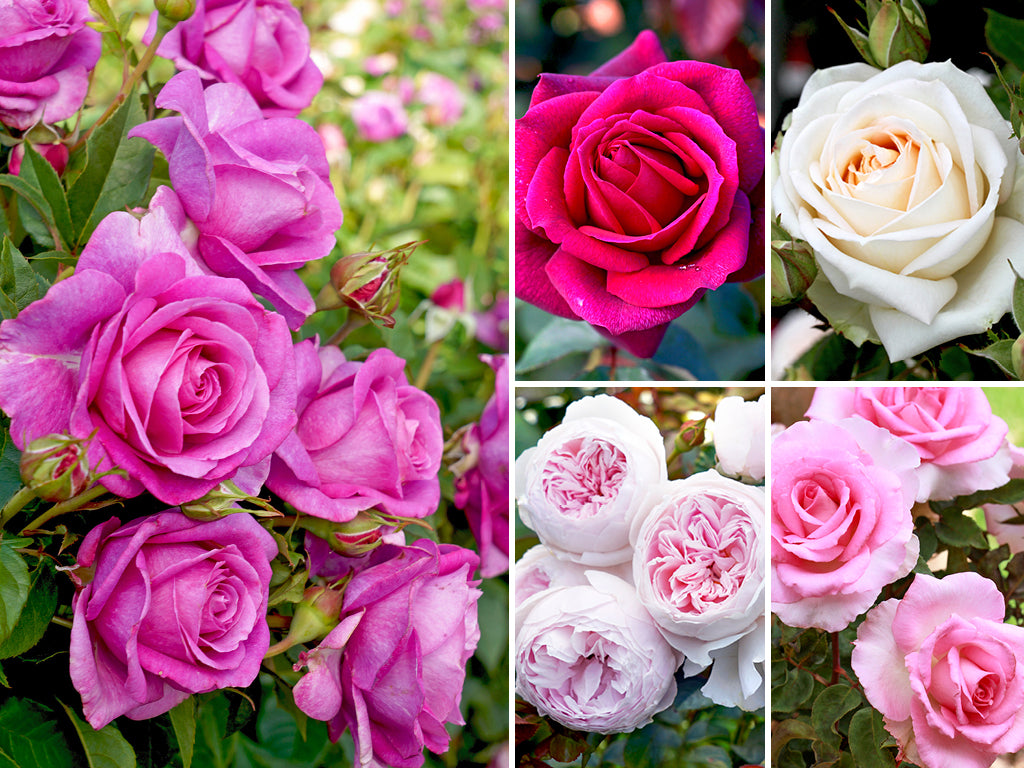 Fragrant Rose Collection