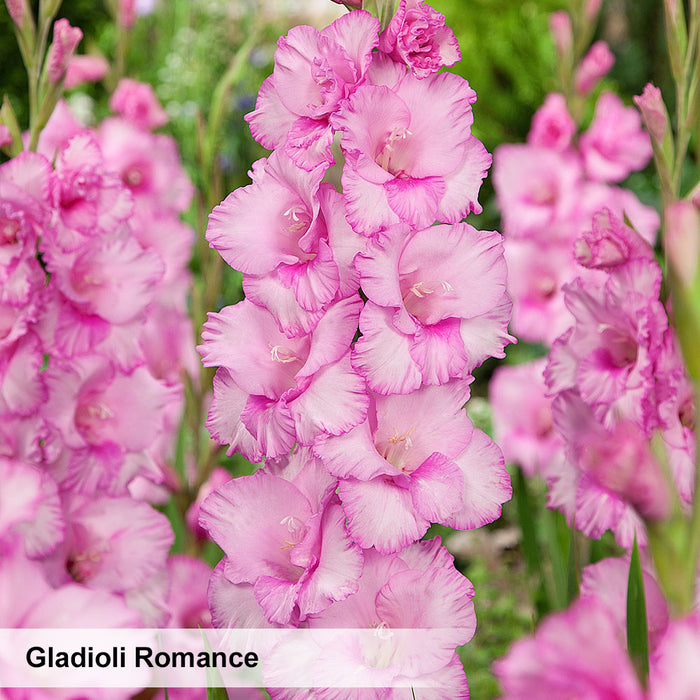 Gladioli Pastel Collection. Special offer - 25% off!