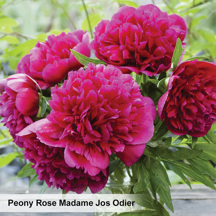 Peony Rose Collection. Special offer - 20% off!