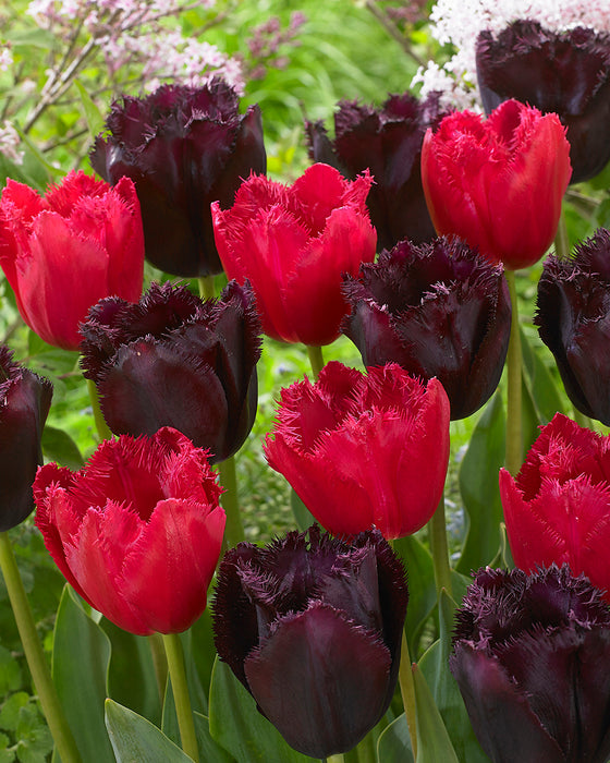 Tulip Fringed Duo