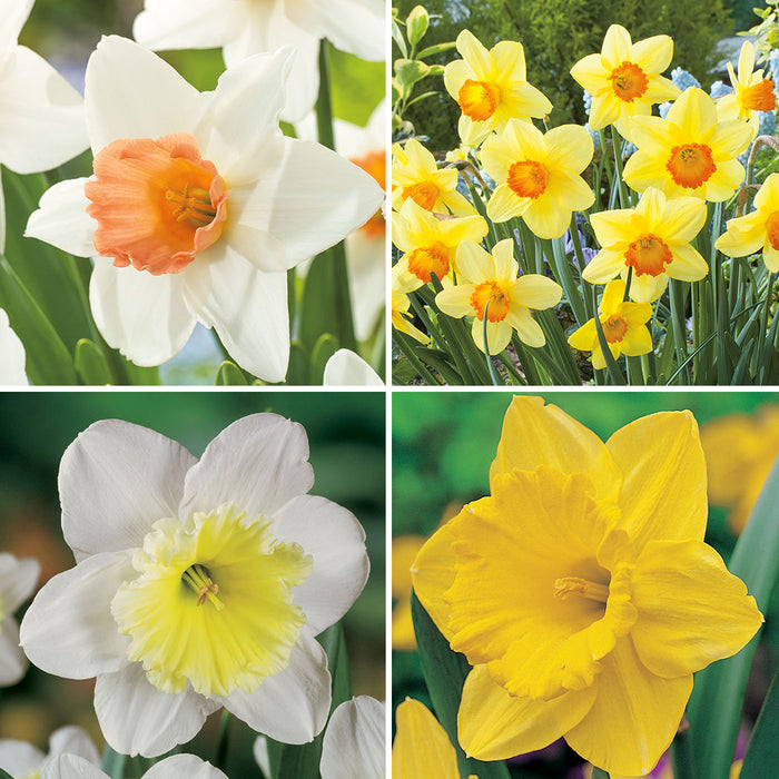 Daffodil Favourites Collection