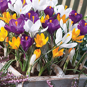 Crocus Mixed
