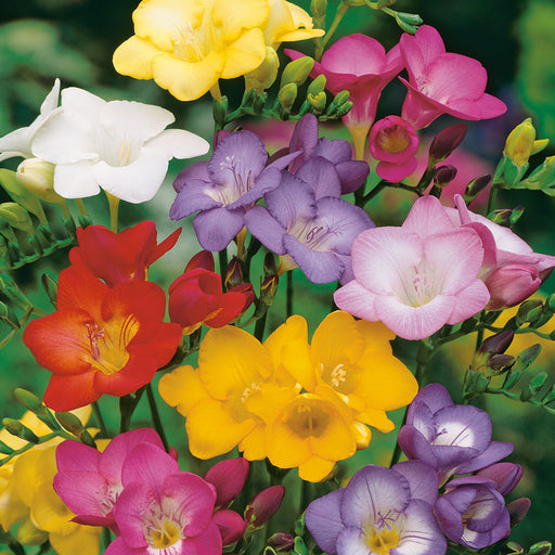 Freesia Hadeco Mixed