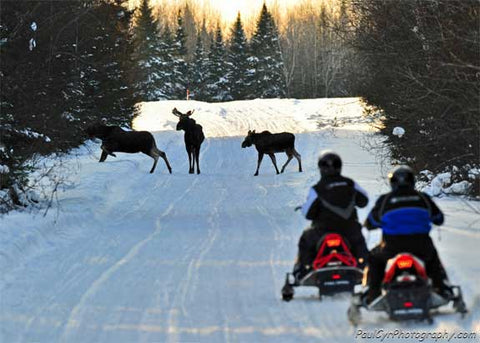 Moose on Snowmobile Trail Maine