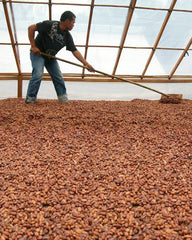 Fermentation du cacao cru dans nos centres de production Big Tree Farms