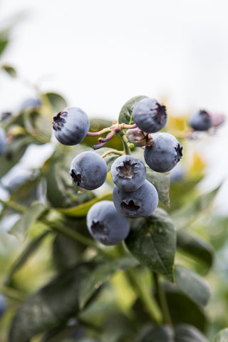 De Grendel Blueberries