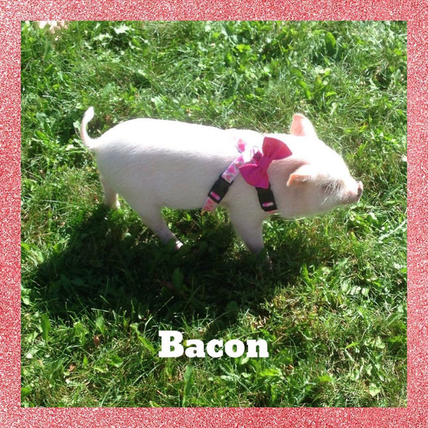 Custom Harness Bow - Snort Life, Mini Pig Clothes