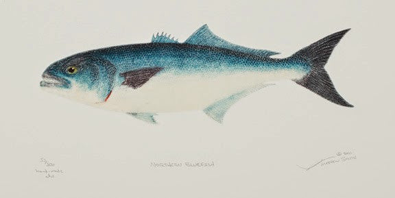Northern Bluefish