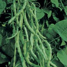 Kentucky Wonder - Pole Bean