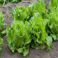 Simpson Black Seeded - Leaf Lettuce