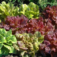 Mixed Leaf Lettuce