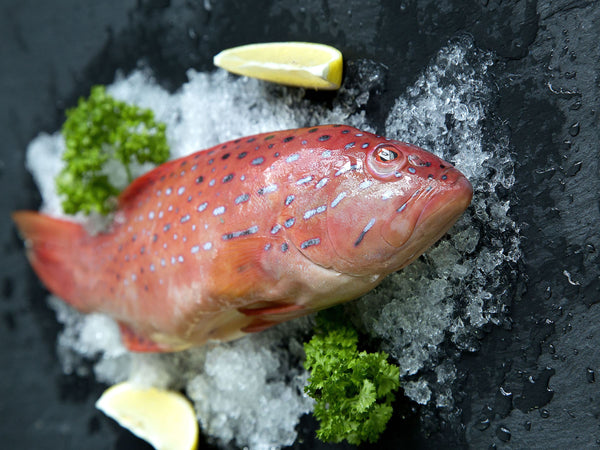 dishthefish wild caught red grouper 红石斑 fresh fish third generation fishmonger singapore fresh seafood supplier
