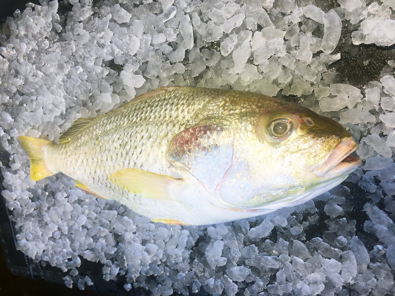 Dishthefish Wild Caught Longhead Grunt 石鲈鱼 fresh fish third generation fishmonger singapore fresh seafood supplier singapore