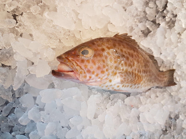 wild caught flower aerolate grouper 花斑 fresh fish third generation fishmonger singapore fresh seafood supplier singapore
