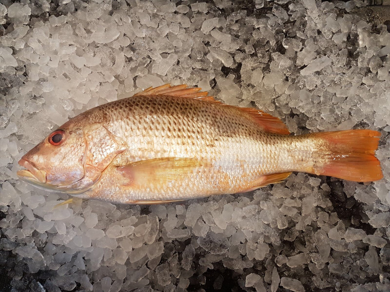 dishthefish The new age fishmonger wild caught Golden Snapper 红皂 fresh fish third generation fishmonger singapore fresh seafood supplier  新加坡 鲜鱼 海产 家户 小孩子 鱼片 鱼片汤 新鲜 鲜鱼 即用 巴刹 送货 方便 网购