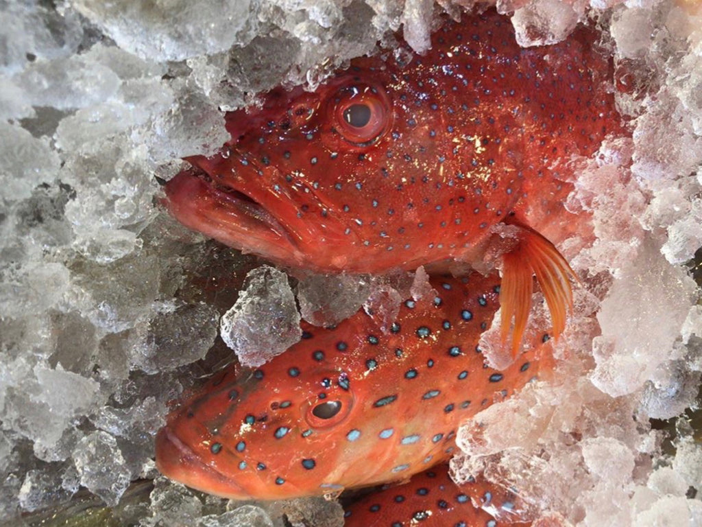 Wild Big Red Grouper (about 3kg) - Dishthefish