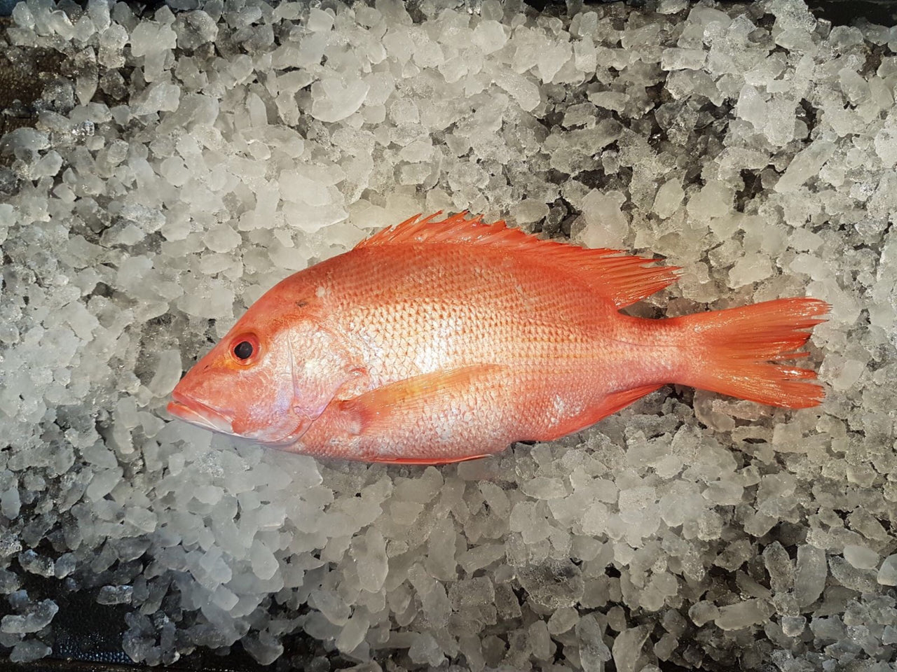 dishthefish Wild caught Red Snapper 红鸡 fresh fish third generation fishmonger singapore fresh seafood supplier singapore