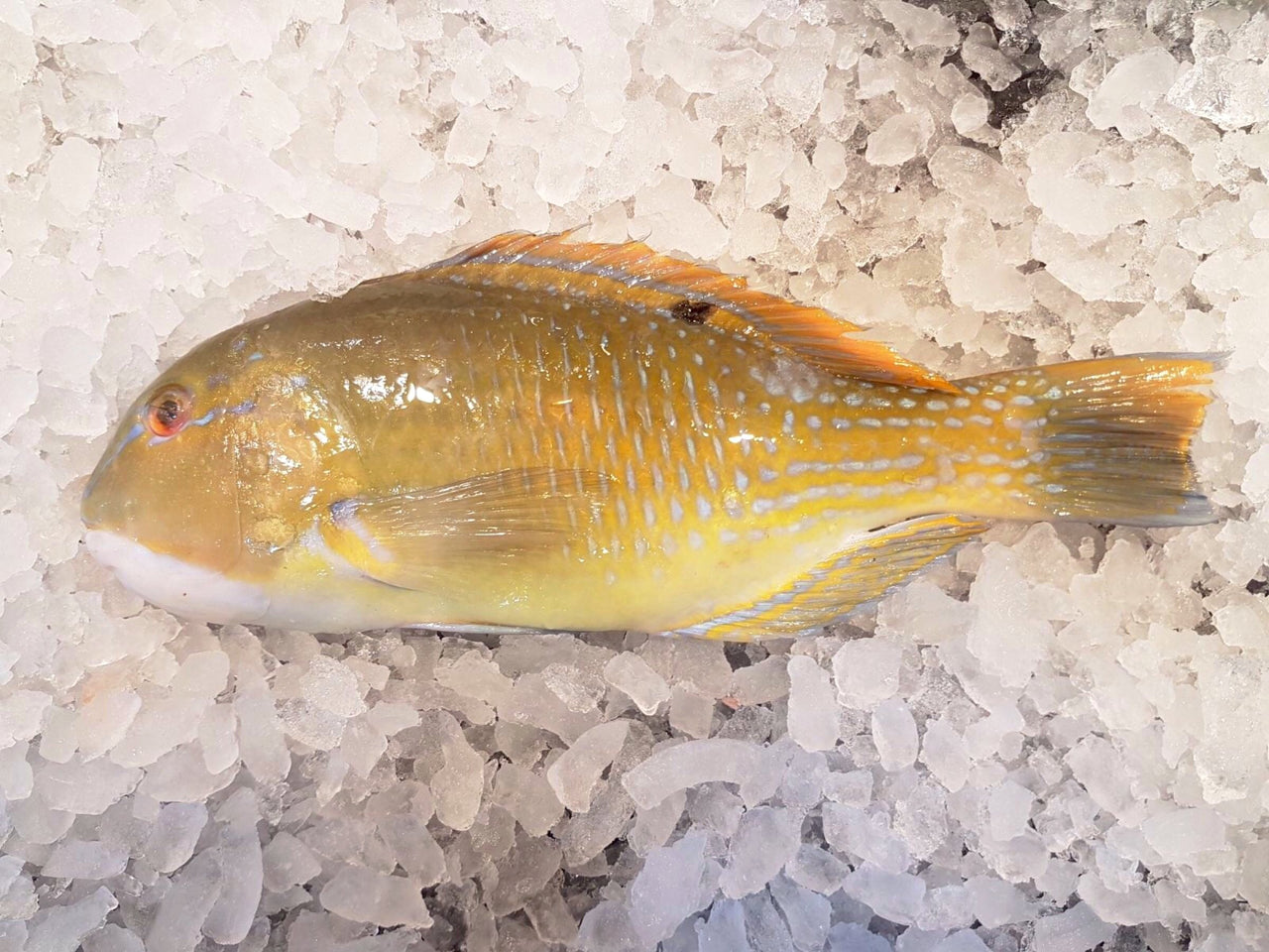 wild caught parrot fish green wrasse 青衣 鹦哥鱼 fresh fish third generation fishmonger singapore dishthefish fresh seafood supplier singapore