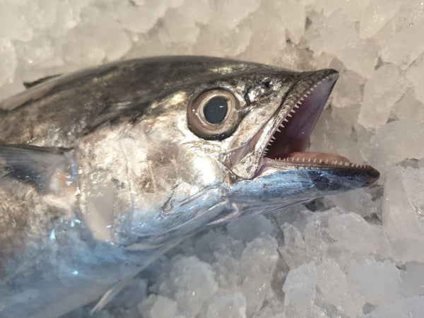 sootted mackerel singapore fishmonger fresh fish seafood online delivery market the new age fishmonger 马鲛鱼