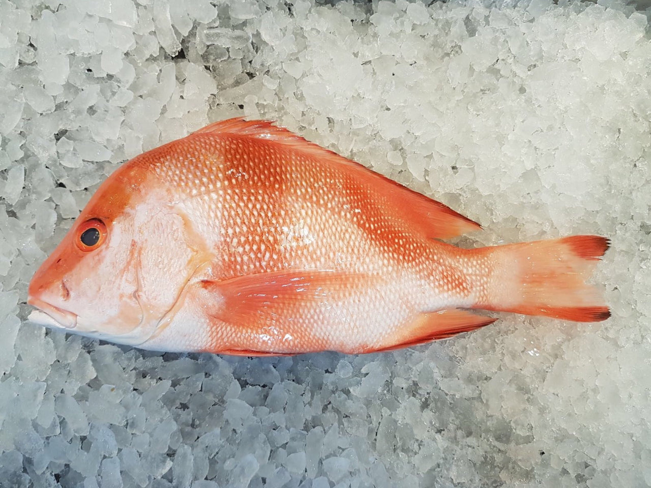 wild caught Red Emperor Snapper ang sai 红狮子 Singapore Fresh Fish Third Generation Fishmonger dishthefish fresh seafood supplier singapore