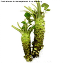 Load image into Gallery viewer, Fresh Wasabi Rhizomes (Wasabi Root) New crop - 1 LB Fresh Wasabi Rhizomes / Sawa Daruma - Wasabi