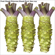 Load image into Gallery viewer, Fresh Wasabi Rhizomes (Wasabi Root) New crop - 3 LB Fresh Wasabi Rhizomes / Sawa Daruma - Wasabi