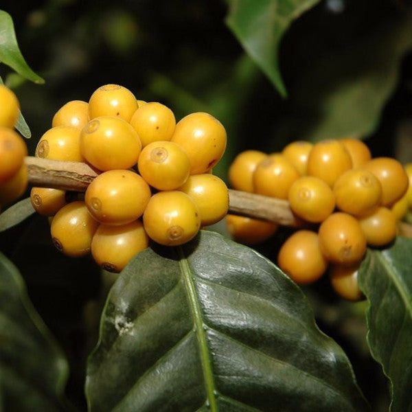 Colombia Iquira Rio Negro Yellow Burbon, Huila by Nero Scuro Specialty Coffees - 1