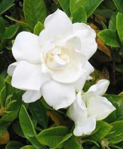 Aromatique, The Smell of Gardenia Decorative Fragrance