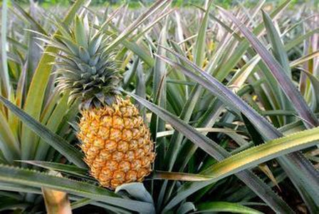 Aromatique, Agave Pineapple Decorative Fragrance