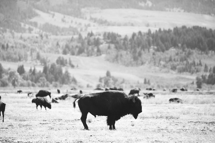 Hiding a Bison Herd