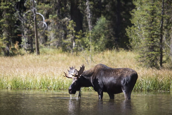 Where and How to Find Moose