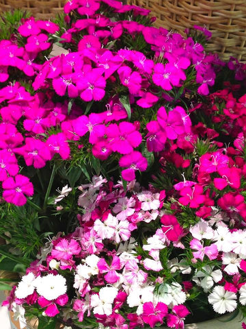 Sweet William (Dianthus)