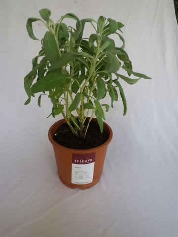Potted Sage