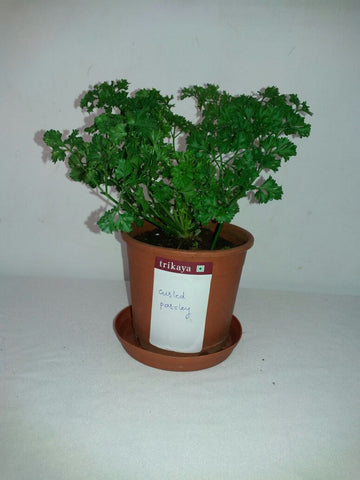 Potted Curled Parsley