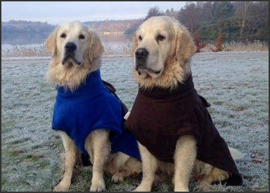 Golden Retrievers wearing XL Freckles Ultimate Drying Coats