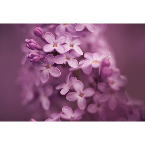 Lilacs Digital File