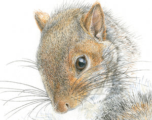 Western Gray Squirrel watercolour, art print on canvas 12 x 16 in.