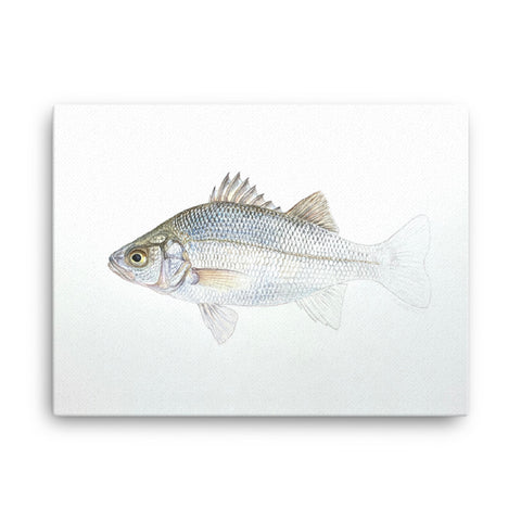"""White Perch Emerging"" print on canvas"