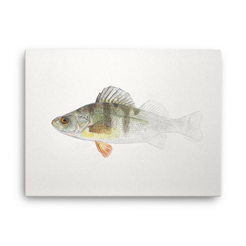 Canvas print of Yellow Perch Emerging