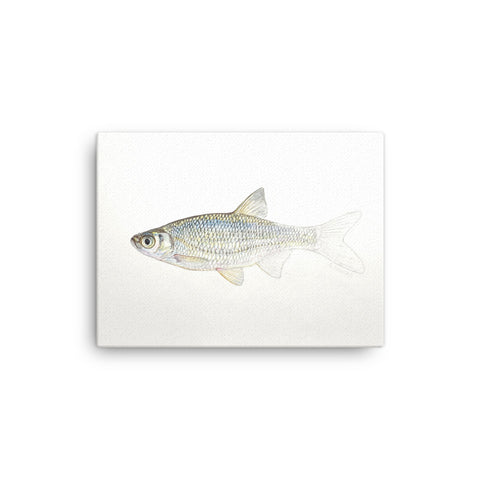 """Golden Shiner Emerging"" print on canvas"