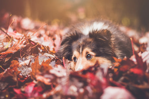 dog in leafs in fall