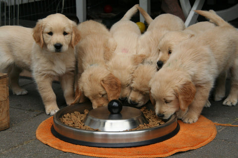 Puppies eating kibble