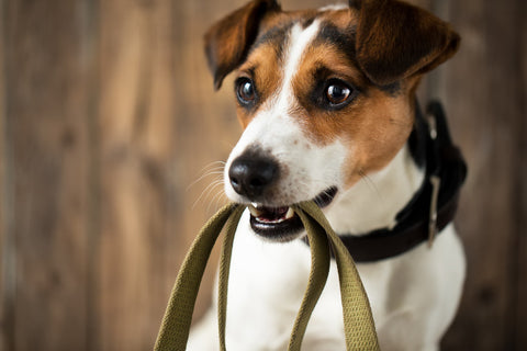 Jack russell holding a leash to travel