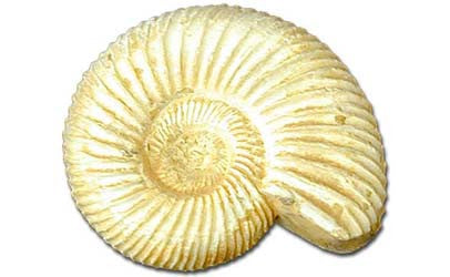 White Ammonite - Small