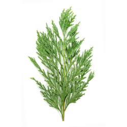 Cypress Essential Oil 30ML - SyraSkins