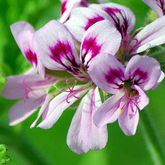 Rose Geranium Essential Oil 30ML - SyraSkins