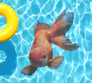 Orange Oranda Goldfish Underwater Pool Mat Tattoo