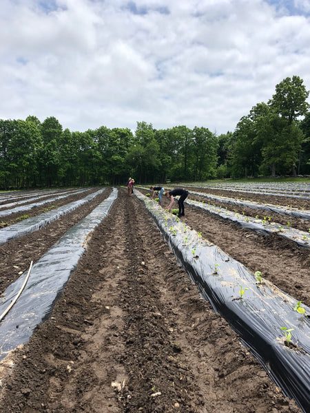 Center shot of planter rows at Community Harvest Project farm